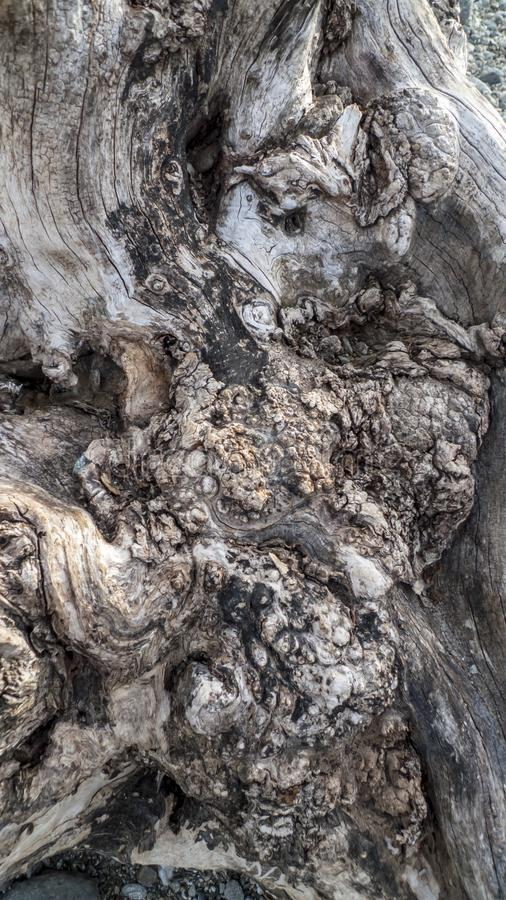 Leeftijds knoestige boom, olijfboom, met kraakbeen, kraakbeen knotholes stock foto