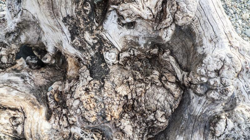Leeftijds knoestige boom, olijfboom, met kraakbeen, kraakbeen knotholes royalty-vrije stock fotografie
