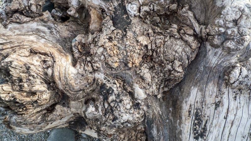 Leeftijds knoestige boom, olijfboom, met kraakbeen, kraakbeen knotholes royalty-vrije stock afbeeldingen