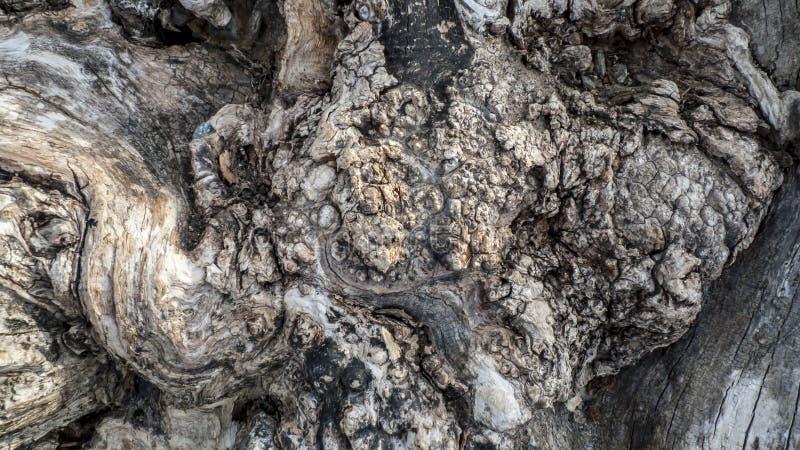 Leeftijds knoestige boom, olijfboom, met kraakbeen, kraakbeen knotholes stock fotografie