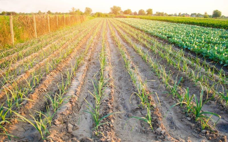Leek dorośnięcie w polu Rolnictwo, warzywa, organicznie produkty rolni, przemysł farmlands zdjęcia royalty free