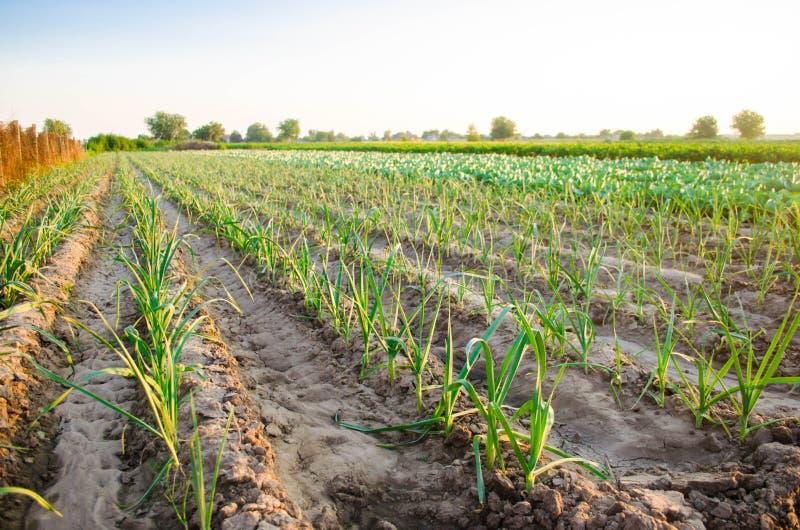 Leek dorośnięcie w polu Rolnictwo, warzywa, organicznie produkty rolni, przemysł farmlands fotografia stock