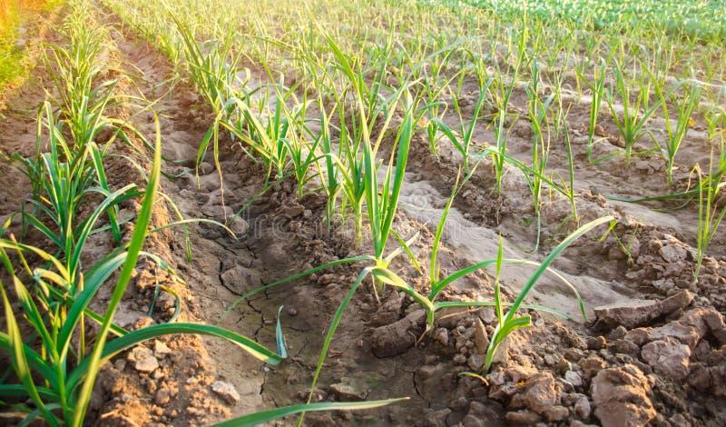 Leek dorośnięcie w polu Rolnictwo, warzywa, organicznie produkty rolni, przemysł farmlands obraz royalty free
