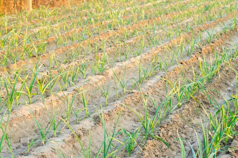 Leek dorośnięcie w polu Rolnictwo, warzywa, organicznie produkty rolni, przemysł farmlands zdjęcia stock