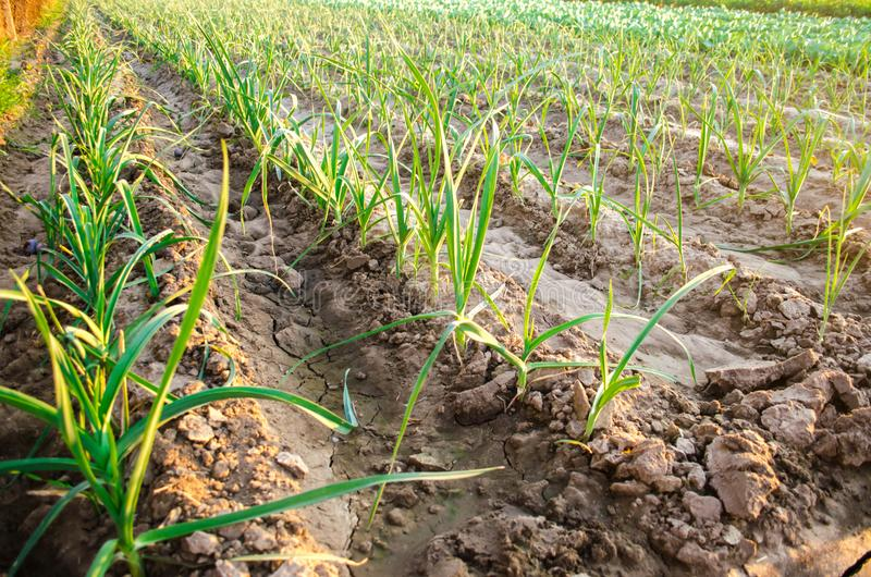 Leek dorośnięcie w polu Rolnictwo, warzywa, organicznie produkty rolni, przemysł farmlands obraz stock