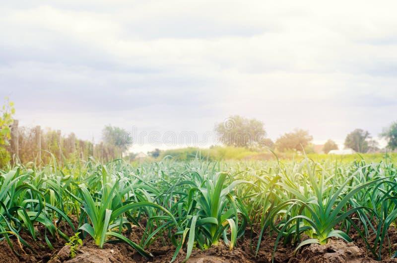 Leek dorośnięcie w polu Rolnictwo, warzywa, organicznie produkty rolni, przemysł farmlands fotografia royalty free