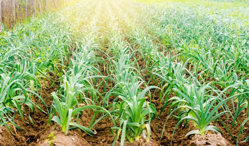 Leek dorośnięcie w polu Rolnictwo, warzywa, organicznie produkty rolni, przemysł farmlands zdjęcie royalty free