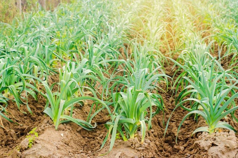 Leek dorośnięcie w polu Rolnictwo, warzywa, organicznie produkty rolni, przemysł farmlands Selekcyjna ostrość zdjęcie royalty free