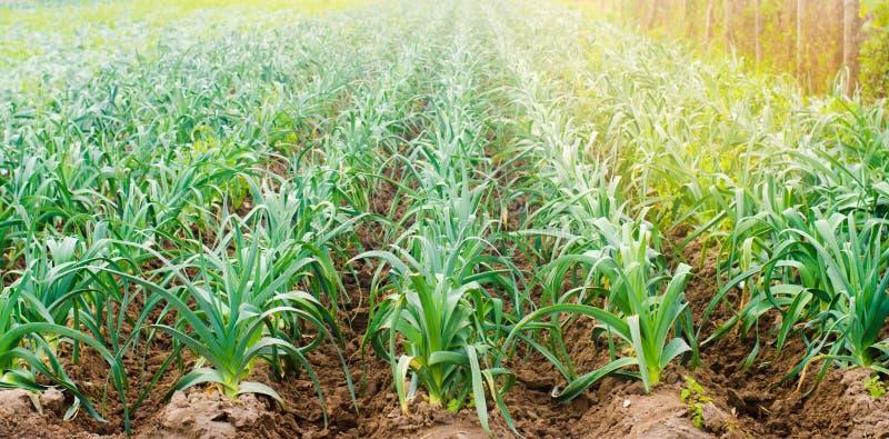 Leek dorośnięcie w polu Rolnictwo, warzywa, organicznie produkty rolni, przemysł farmlands Selekcyjna ostrość obraz stock