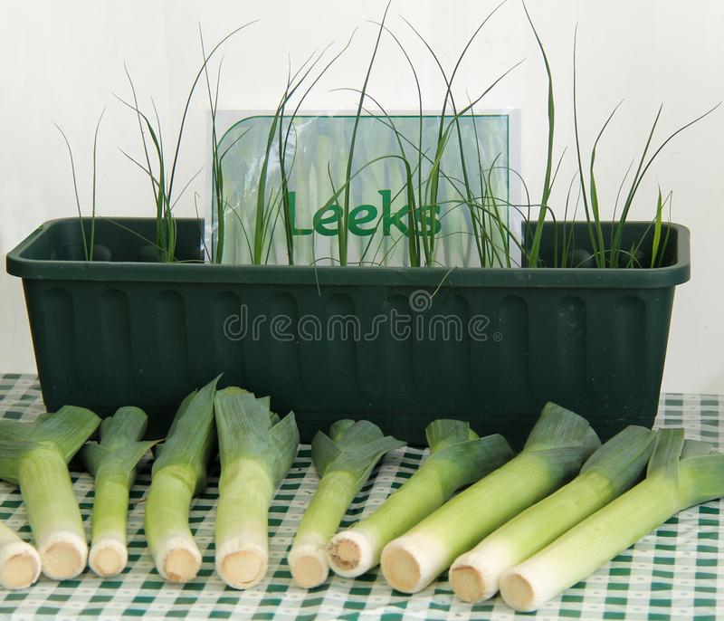Leek Vegetables. A Display of Young and Harvested Leek Vegetables stock photos