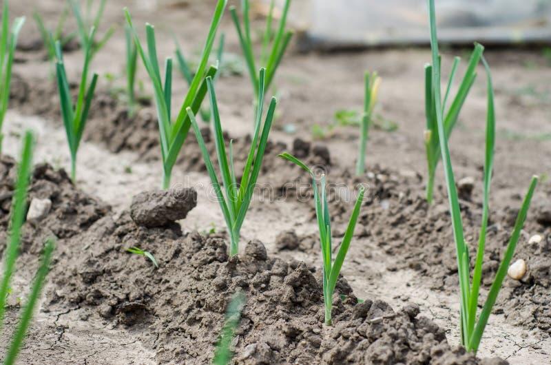 Download Leeks rośliny obraz stock. Obraz złożonej z podrodzina - 33248211