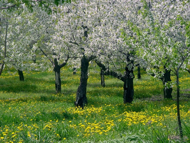 Leelanau Kirschbäume lizenzfreie stockbilder
