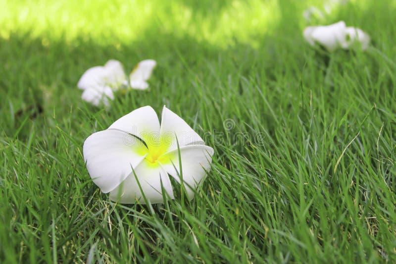 Leelavadee, Plumeria, тропический цветок стоковые изображения