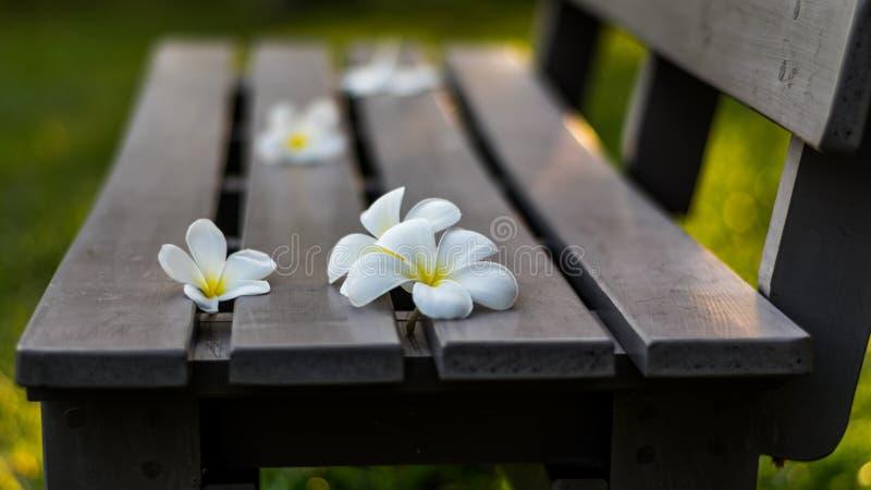 Leelavadee, Plumeria, flor tropical en banco largo imagen de archivo