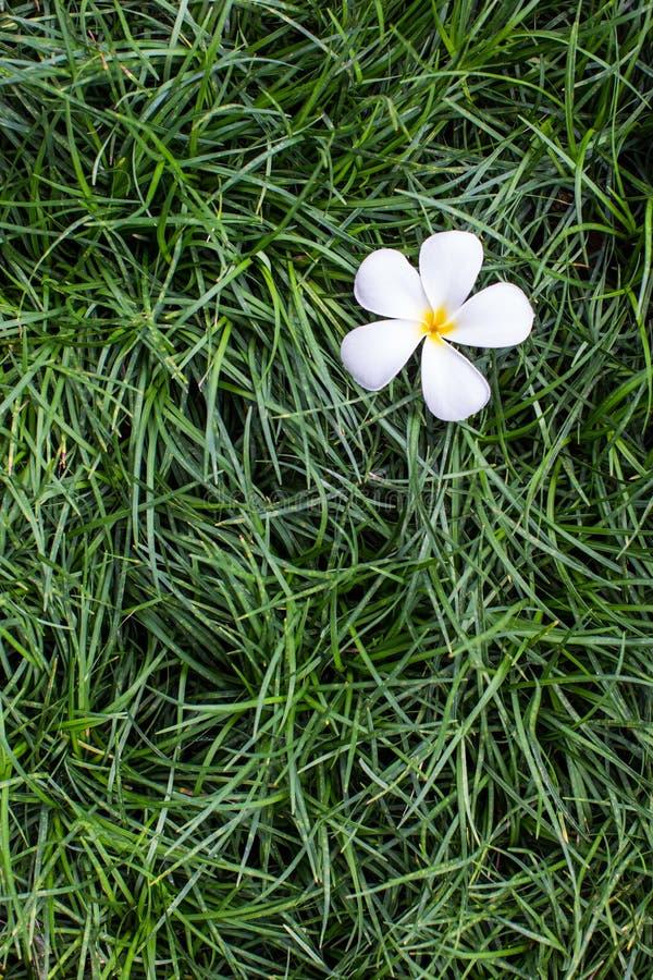 Leelavadee, Plumeria, flor tropical na grama imagem de stock