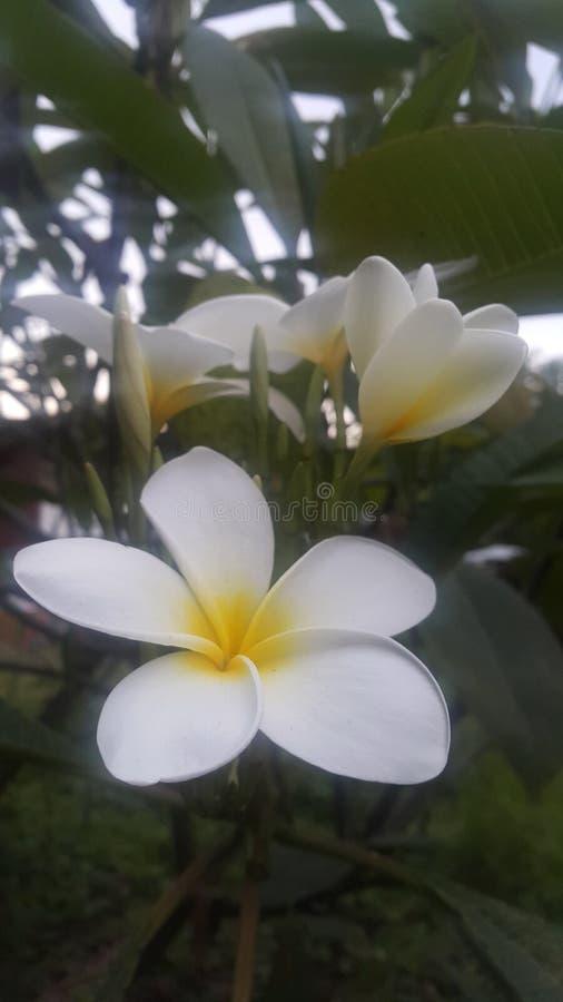Leelawadee-Blumen lizenzfreie stockfotos