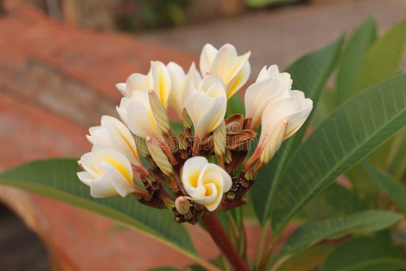 Leelawadee fiorisce di mattina sulla terra fotografie stock libere da diritti