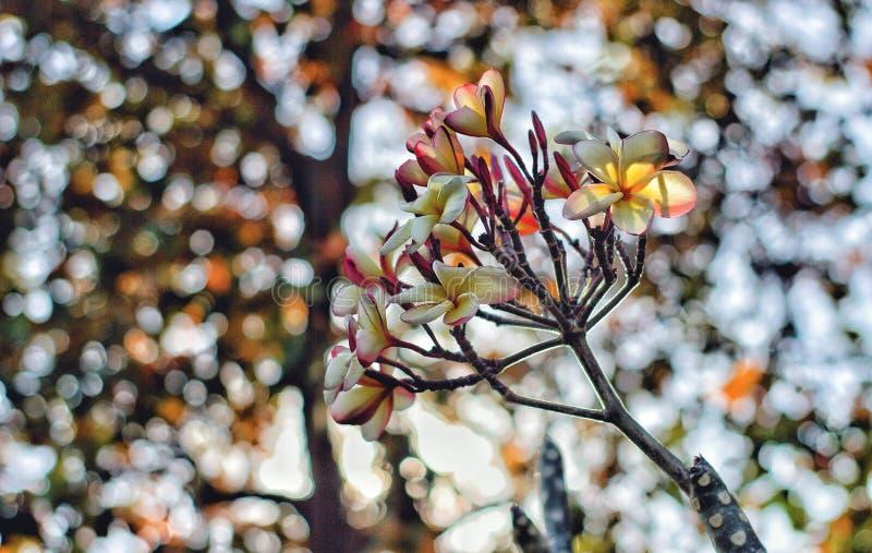 Leelawadee flowers. Is thai flower stock images