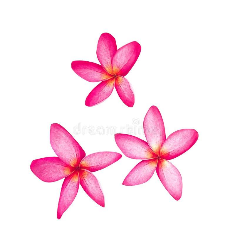Leelawadee kwiaty odizolowywający na białym tle obrazy stock