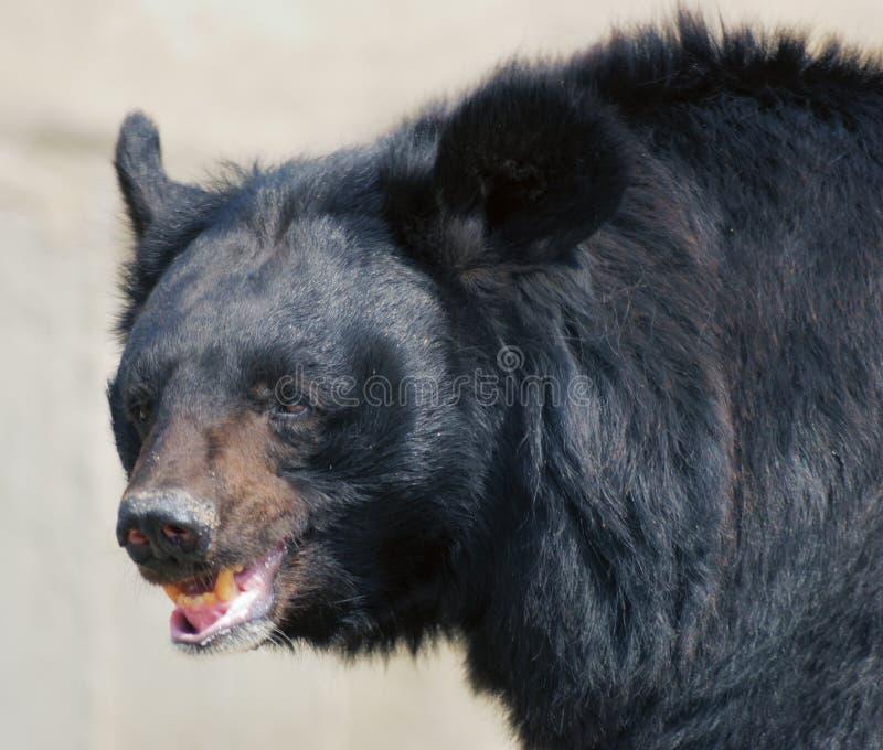 leende för björn s royaltyfri bild