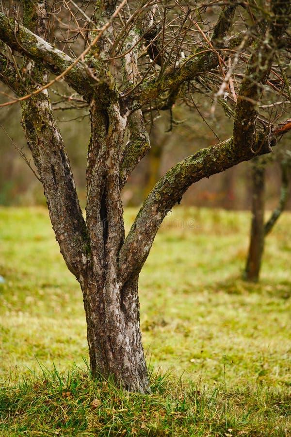 Leere Apfelbäume in spätem November stockfotos