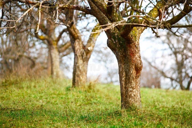 Leere Apfelbäume in spätem November lizenzfreie stockbilder