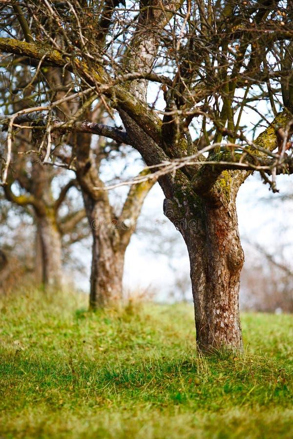 Leere Apfelbäume in spätem November stockbilder