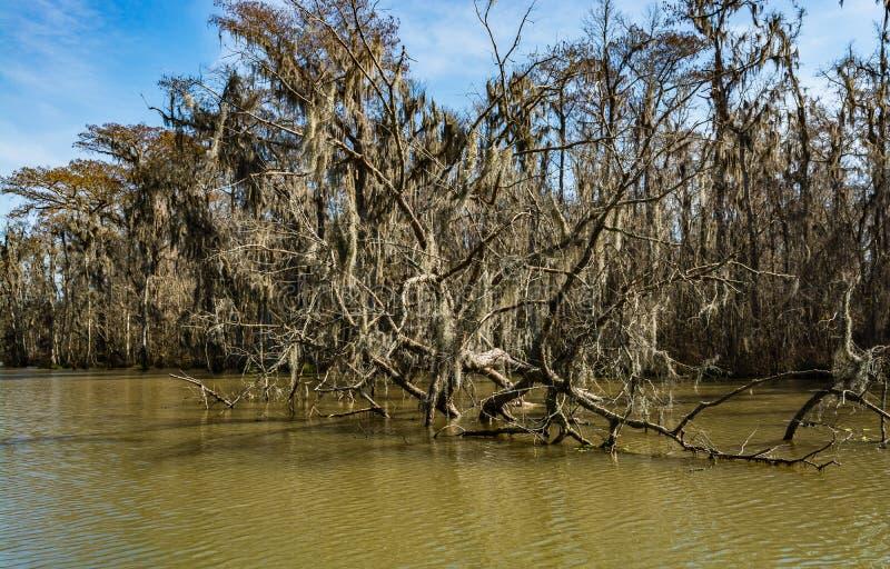 Leere Niederlassungen von Zypressenbäumen in den Sümpfen von Louisiana lizenzfreies stockbild