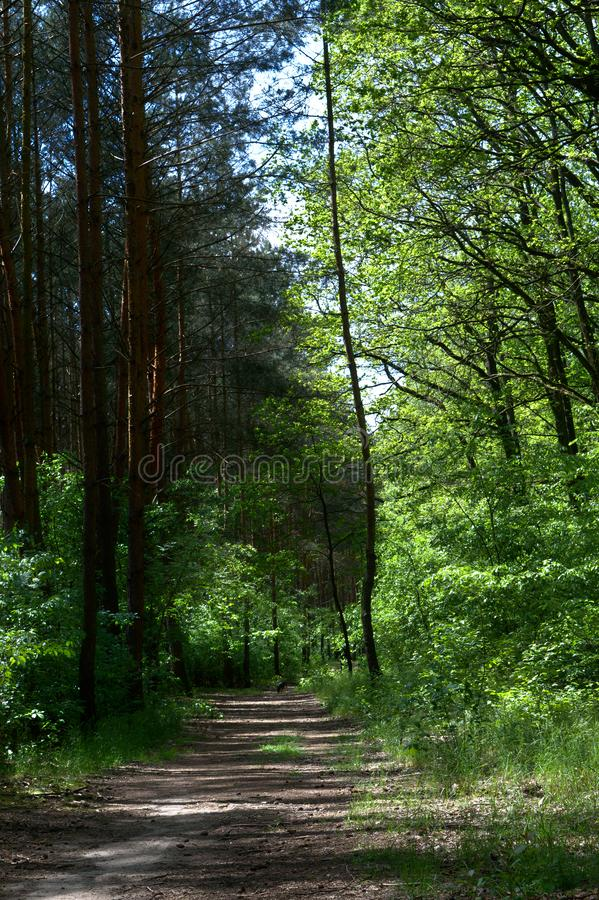Leerer Erdweg in einem Kiefernwald lizenzfreie stockbilder