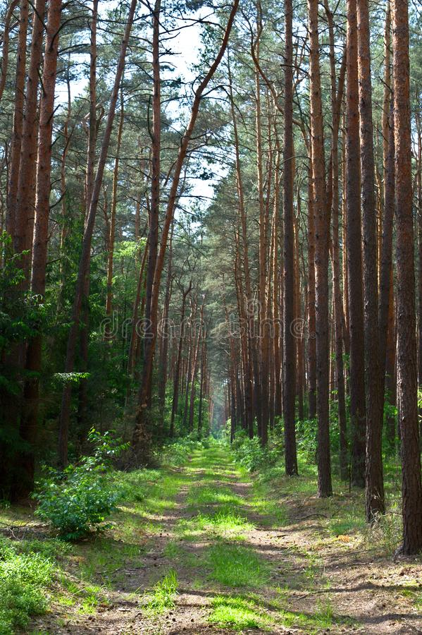 Leerer Grasweg in einem Kiefernwald lizenzfreies stockfoto