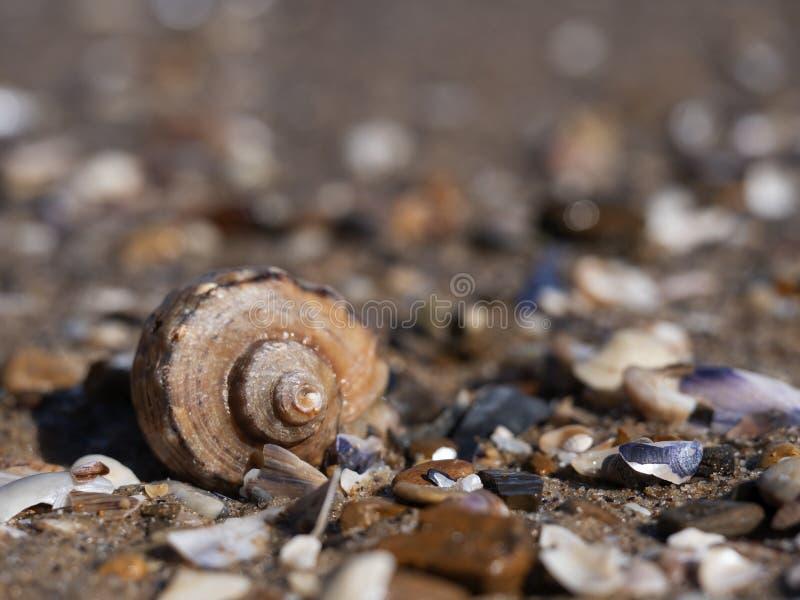 Leeres rapana Oberteil unter Muschelfragmenten lizenzfreies stockfoto