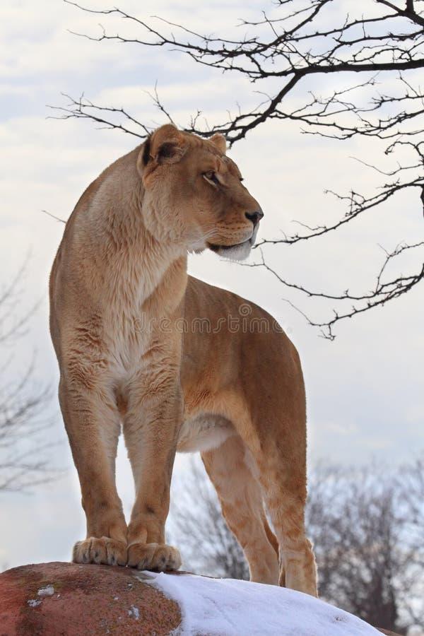 Leeuw stock foto's