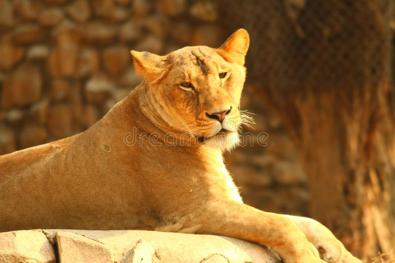 Leeuw stock afbeeldingen