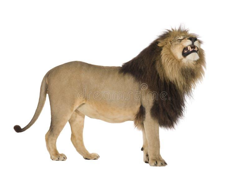 Leeuw (4 en een half jaren) - leo Panthera royalty-vrije stock foto's