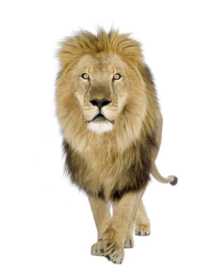 Leeuw (8 jaar) - leo Panthera royalty-vrije stock fotografie