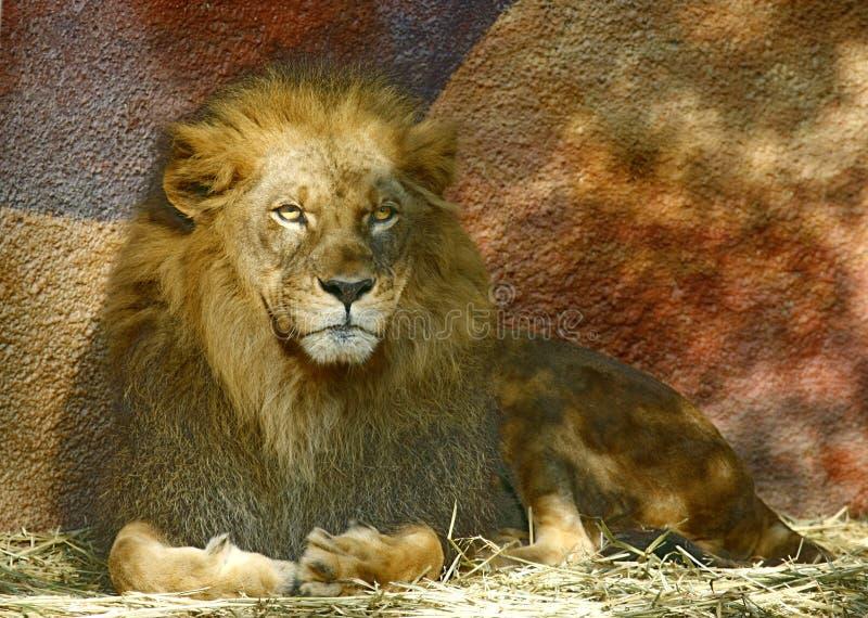 Leeuw royalty-vrije stock afbeelding