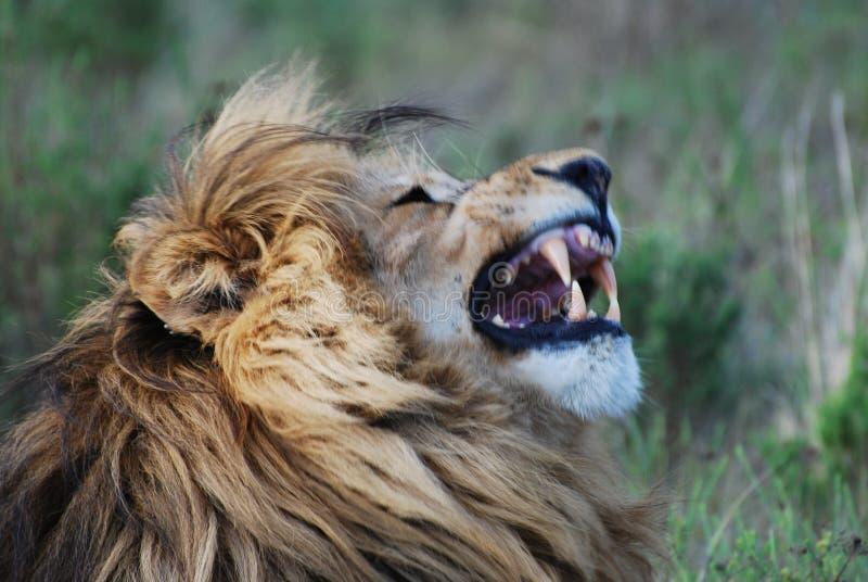 Leeuw in Afrika stock foto's