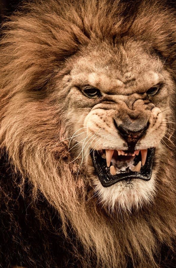 Leeuw in circus stock afbeeldingen