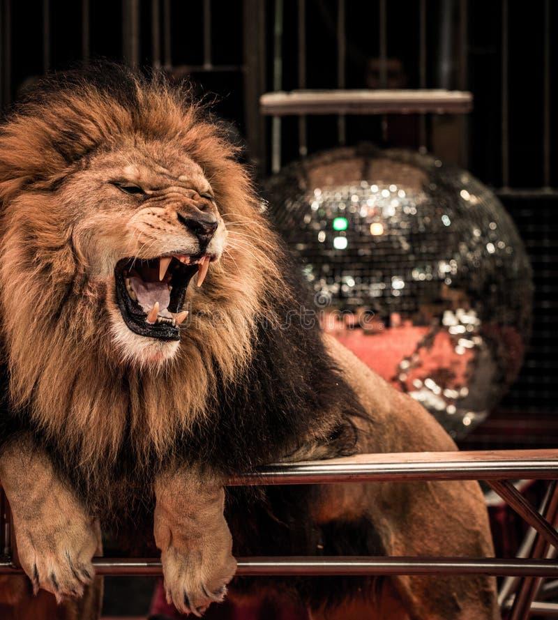 Leeuw in circus royalty-vrije stock foto's