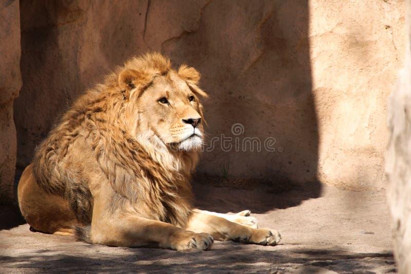 Leeuw in de dierentuin van Dresden stock foto