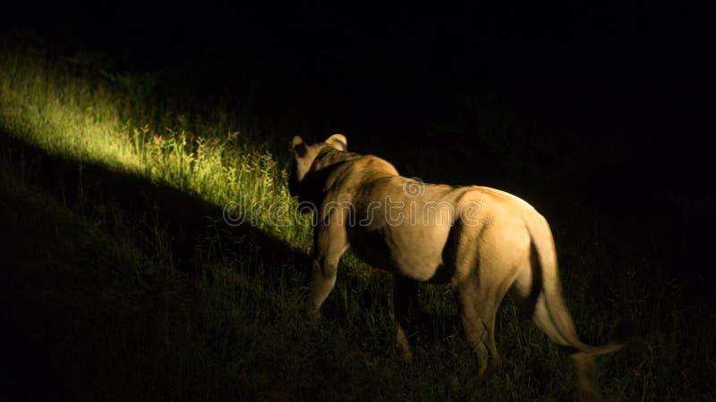 Leeuw de jacht bij nacht stock foto