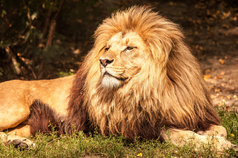 Leeuw de koning royalty-vrije stock afbeelding