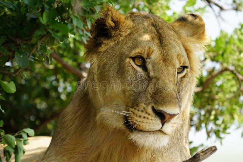 Leeuw de koning, Tanzania royalty-vrije stock afbeeldingen