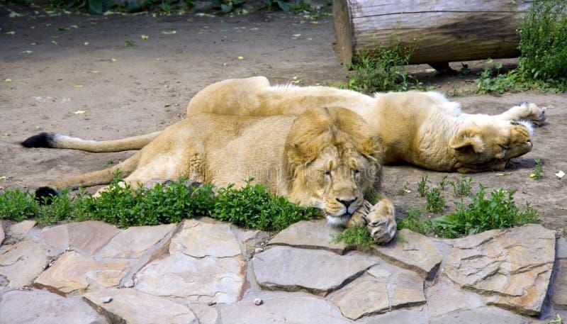 Leeuw de leeuwin royalty-vrije stock afbeelding