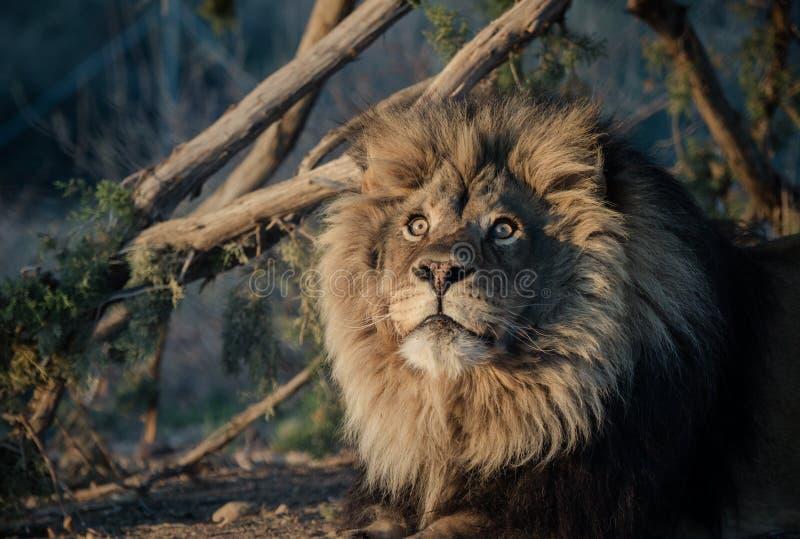 Leeuw in de ochtendzon stock foto