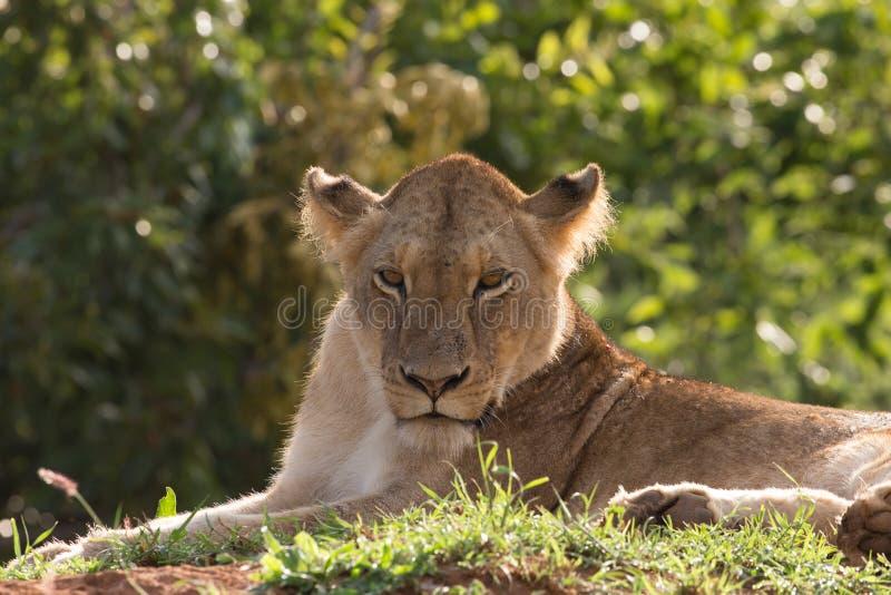 Leeuw in de ochtendzon stock afbeelding