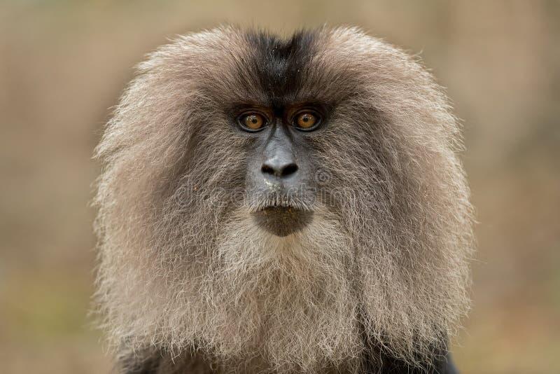 Leeuw-de steel verwijderd van macaque royalty-vrije stock foto's