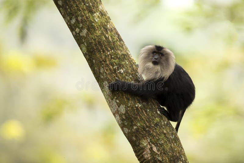 Leeuw-de steel verwijderd van macaque stock foto's