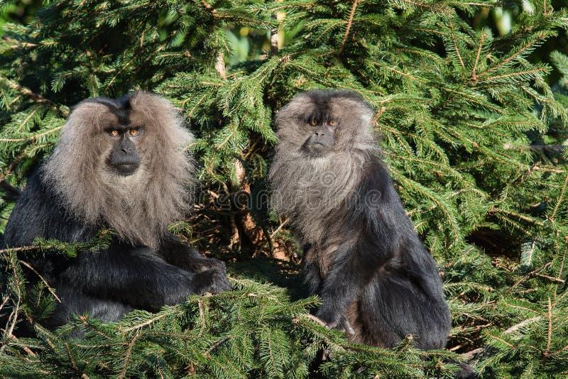 Leeuw-de steel verwijderde van macaque 2016-01-08-00115 royalty-vrije stock foto