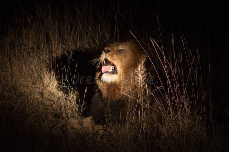 Leeuw in de struik bij nacht royalty-vrije stock fotografie
